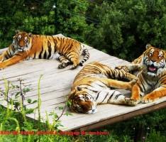 TIGRES EN EL PARQUE DE PEÑA ESCRITA DE ALMUÑÉCAR (Foto: E.F.)